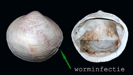 schelp-met-worminfectie1-nederland-thumb