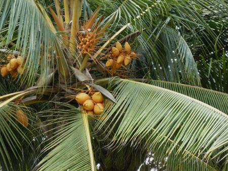 palmvruchten-thumbnail-nicoW