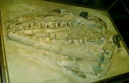 wikipediafile-mosasaurus-vitrine-thumbnail