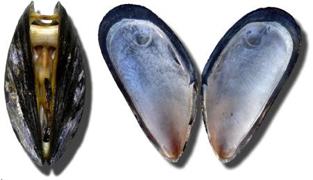 wikip-mosselen-thumb